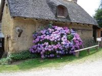 Гортензия садовая смесь