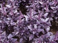 Базилик фиолетовый