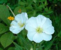 Энотера белая многолетняя