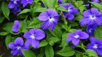 Броваллия смесь: Белая и Фиолетовая