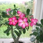 Адениум - Пустынная роза