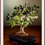 Оливковое дерево