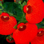 Кальцеолярия красная