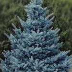 Голубая ель