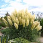 Пампасная трава (кортадерия) смесь
