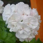 Зональная Пеларгония белая