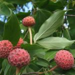 Кизил головчатый (Клубничное дерево)