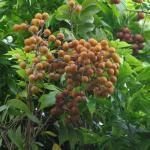 Сапиндус (Мыльное дерево)
