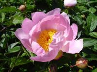 Пион Очарование молочноцветковый