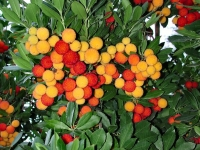 Земляничное дерево (Арбутус)
