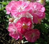 Роза китайская Крылья Ангела