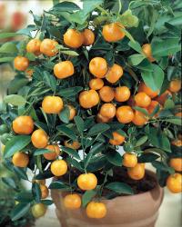 Мандариновое дерево (каламондин)