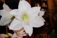 Гиппеаструм Белый