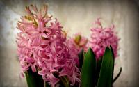 Розовый Гиацинт луковицы