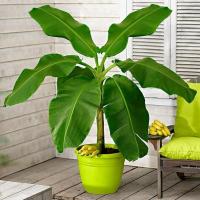 Банан декоративный Пигмей