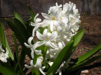 Белый гиацинт