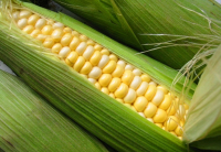 Кукуруза Сахарная Утренняя Песня