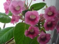 Глоксиния Харизма Розовая