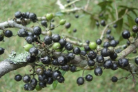 Мирриниум Темнопурпурный