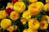 Лютик F1 Цветущая Долина Золотая