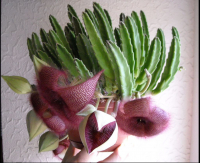 Стапелия Крупноцветковая