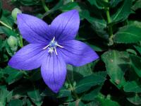 Платикодон Крупноцветковый Звезда Голубая F1