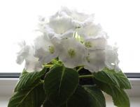 Глоксиния Императрица Белая F1