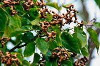 Говения Сладкая (Конфетное дерево)