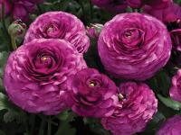 Лютик F1 Цветущая Долина Фиолетовая