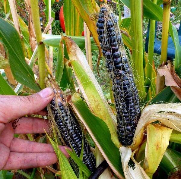 черная кукуруза семена