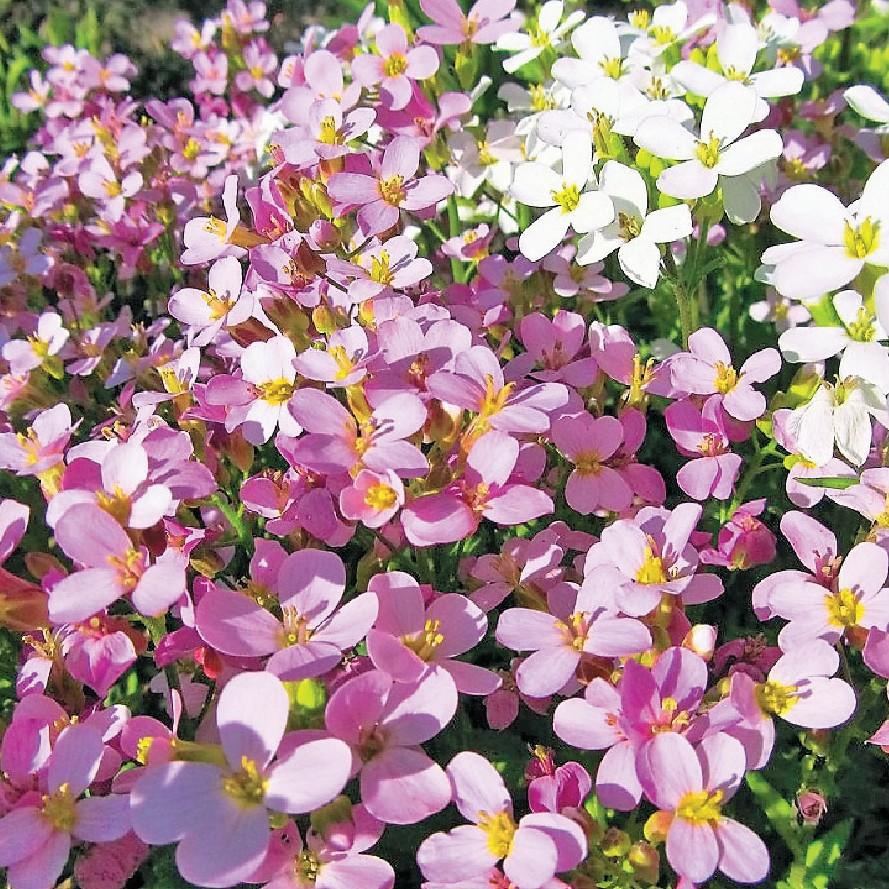 Низкорослые цветы, цветы арабис купить украина