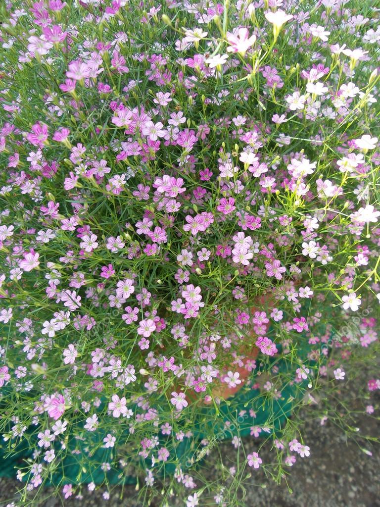 гипсофила розовая однолетняя выращивание из семян