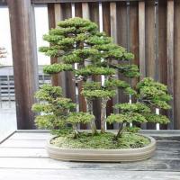 Криптомерия Японская бонсай