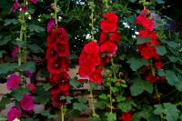 Мальва (шток-роза) смесь