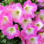 Петуния Крупноцветковая смесь