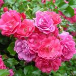 Роза китайская Энжел Вингс