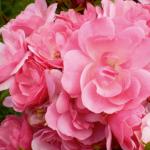 Полиантовая Роза