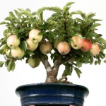 Карликовая яблоня