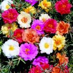 Портулак Крупноцветковый смесь