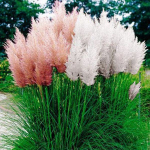 Пампасная трава (Кортадерия)