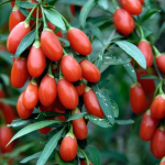 Дереза китайская (ягоды Годжи)