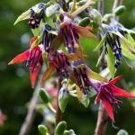 Фуксия Экскортиката (Fuchsia excorticata) смесь