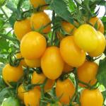 Томат Сахарная слива желтая