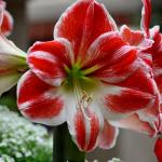 Гиппеаструм красно-белый