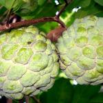 Аннона (Сахарное яблоко)