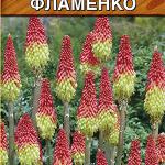 Книфофия ягодная Фламенко