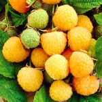 Малина желтая ягодка