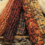 Кукуруза декоративная Амеро