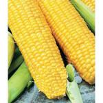 Кукуруза кубанский Сахарный 210 F1
