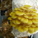 Вешенка золотая (лимонная)